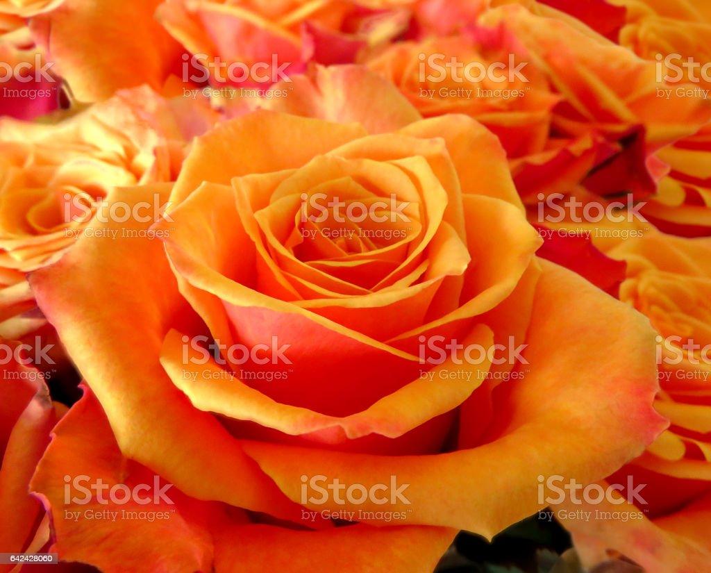 Roses orange background stock photo
