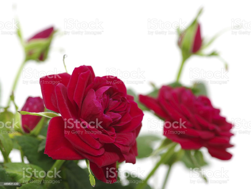 roses over white royalty-free stock photo