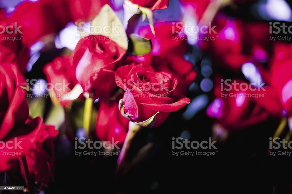 Roses royalty-free stock photo