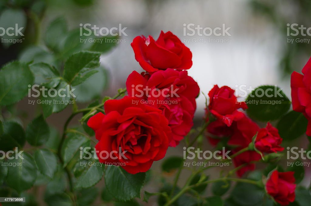 Roses. stock photo