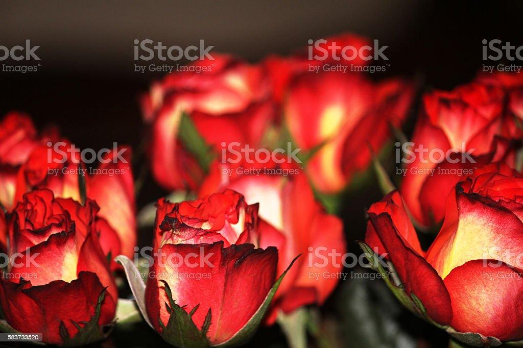 Roses. stock photo