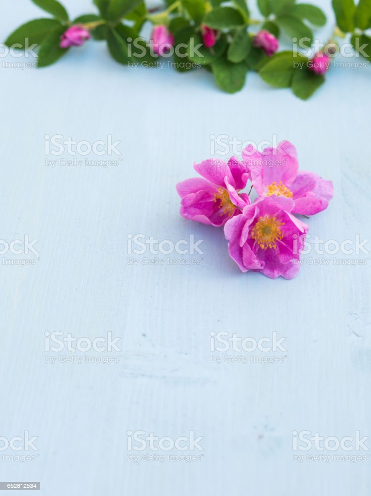 Roses. Rose flowers on an blue wooden background. Copy space. stock photo
