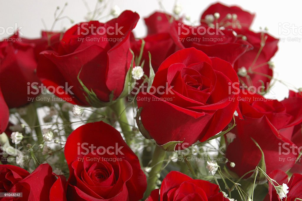Roses with Baby's Breath royalty-free stock photo