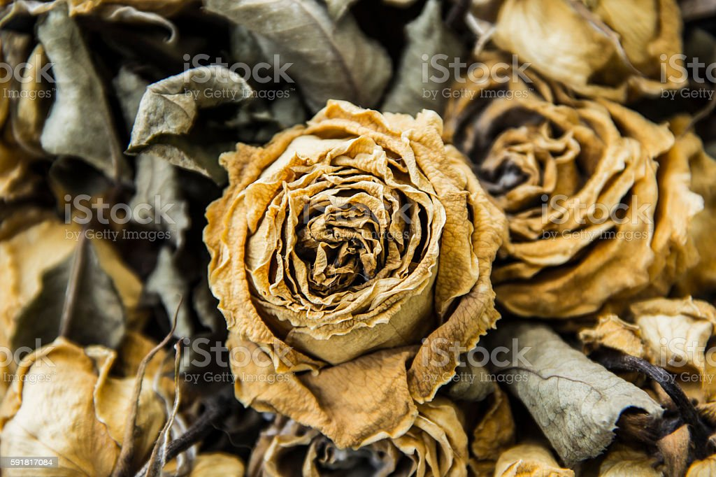 roses wither stock photo