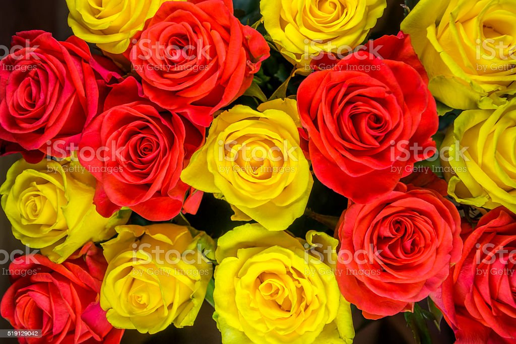 Roses - yellow and red stock photo
