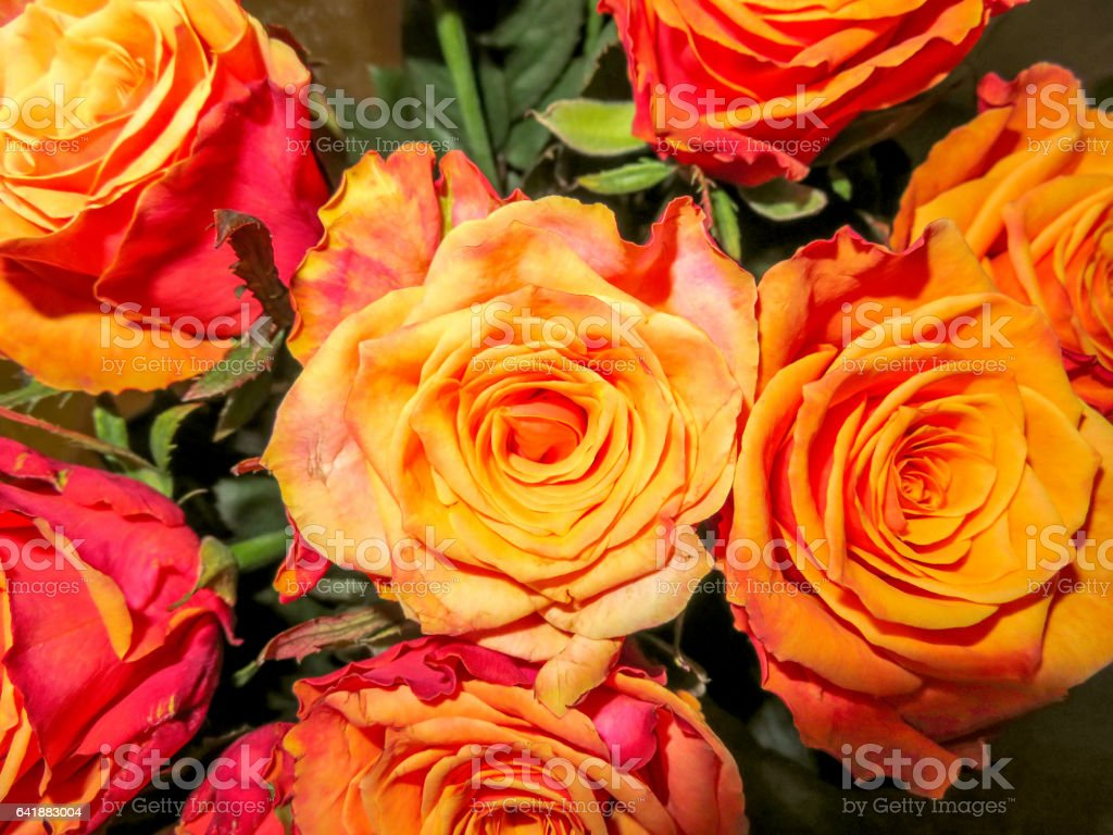 Roses yellow background stock photo