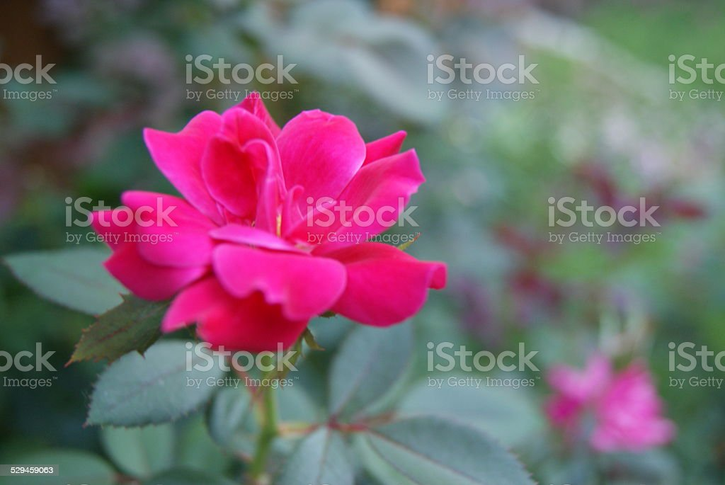 Rosey Rose royalty-free stock photo
