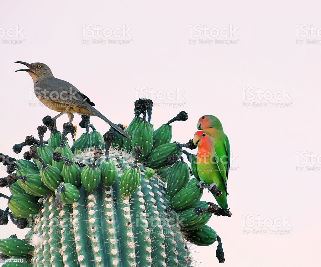 Rosey-faced Lovebird and Curve-billed Thrasher stock photo