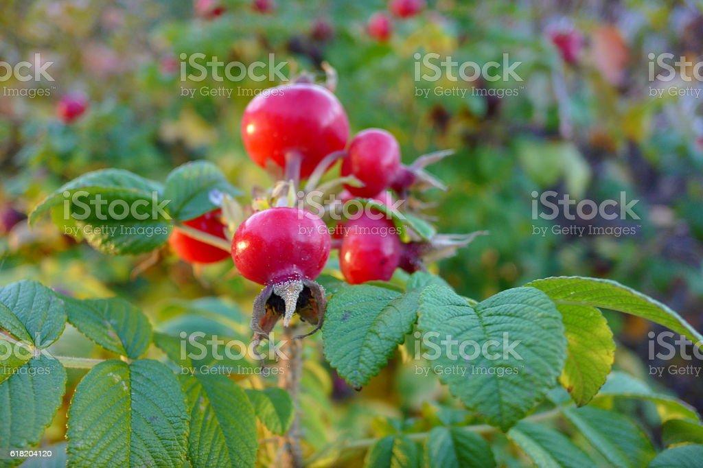 Rosier du Japon ou rosier rugueux royalty-free stock photo