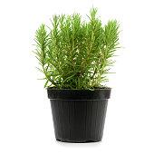 rosmarinus officinalis into a black pot
