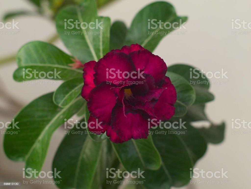 Rosy Adenium Obesum Kusuma Violet Desert Rose stock photo