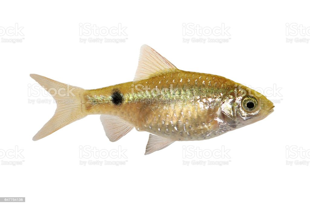 Rosy Barb Female Pethia conchonius freshwater tropical aquarium fish stock photo