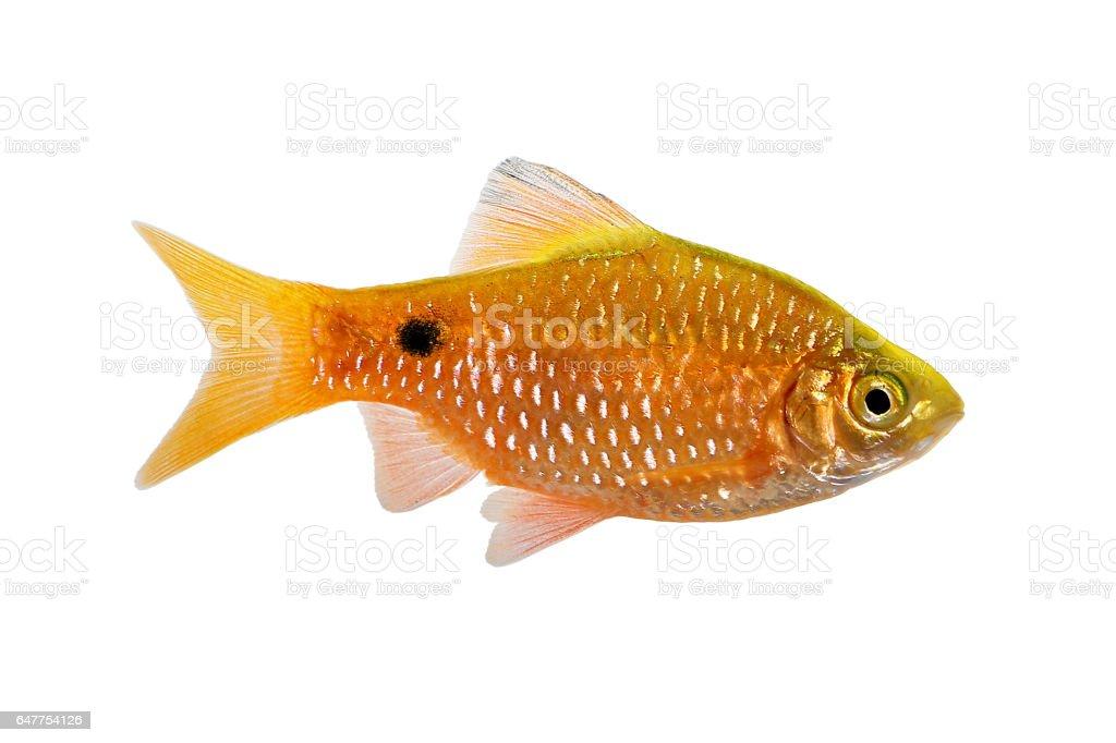 Rosy Barb Male Pethia conchonius freshwater tropical aquarium fish stock photo