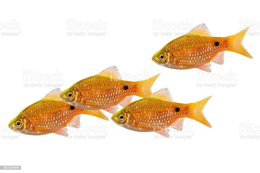 Rosy Barb swarm Pethia conchonius freshwater tropical aquarium fish stock photo