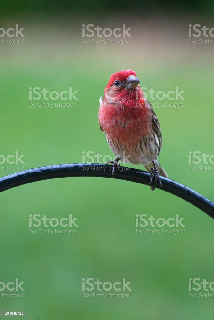 Rosy Fitch Bird looking at camera with green background. stock photo