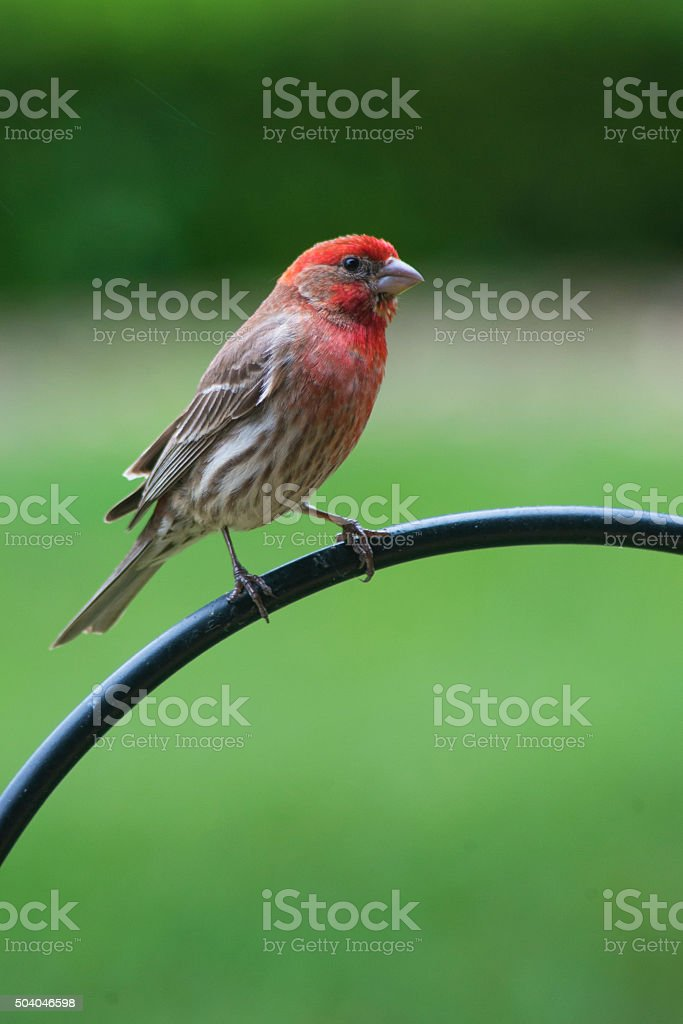 Rosy Fitch Bird sits on iron railing with green background. stock photo