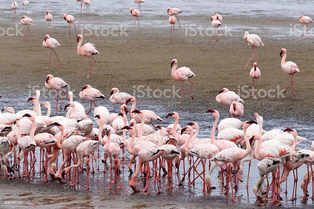 Rosy Flamingo colony in Walvis Bay Namibia stock photo