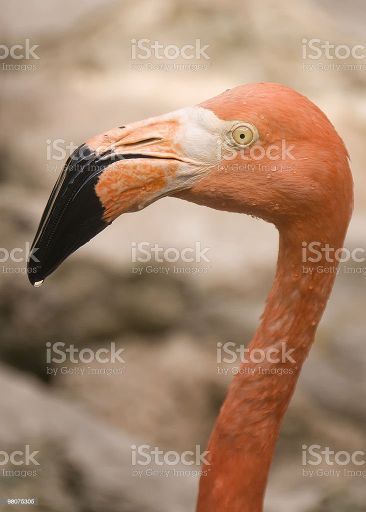 Rosy flamingo stock photo