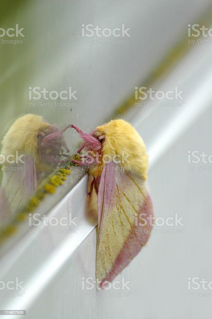 Rosy Maple Moth royalty-free stock photo