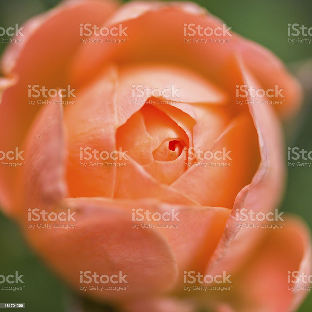 Rosy Outlook royalty-free stock photo