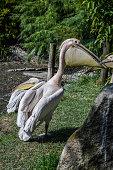 Rosy Pelican - Pelecanus onocrotalus