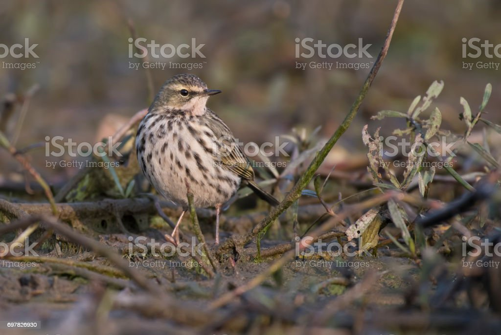 Rosy pipit stock photo