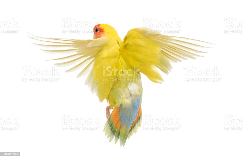 Rosy-faced Lovebird flying also known as the Peach-faced Lovebird stock photo