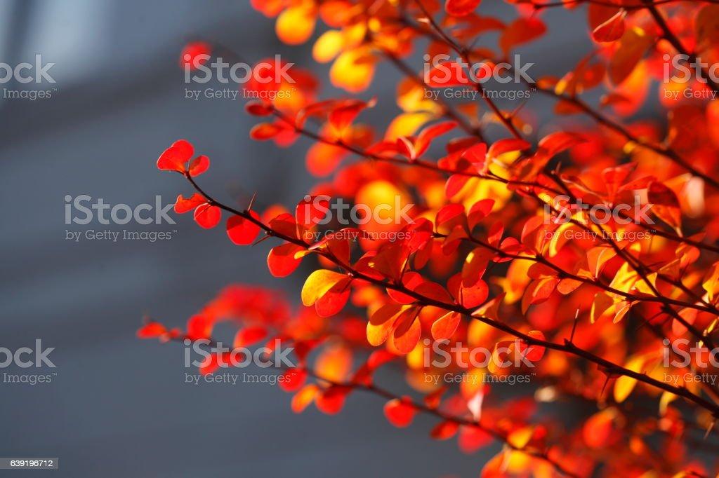 rot verfärbtes Herbstlaub an Zweigen stock photo