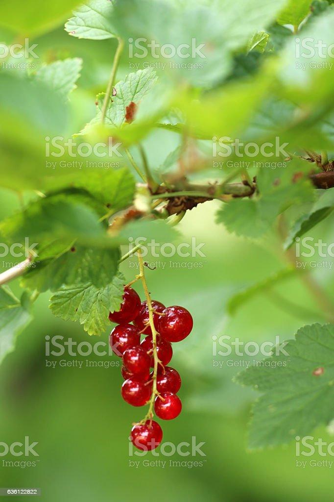Rote Johannisbeeren stock photo