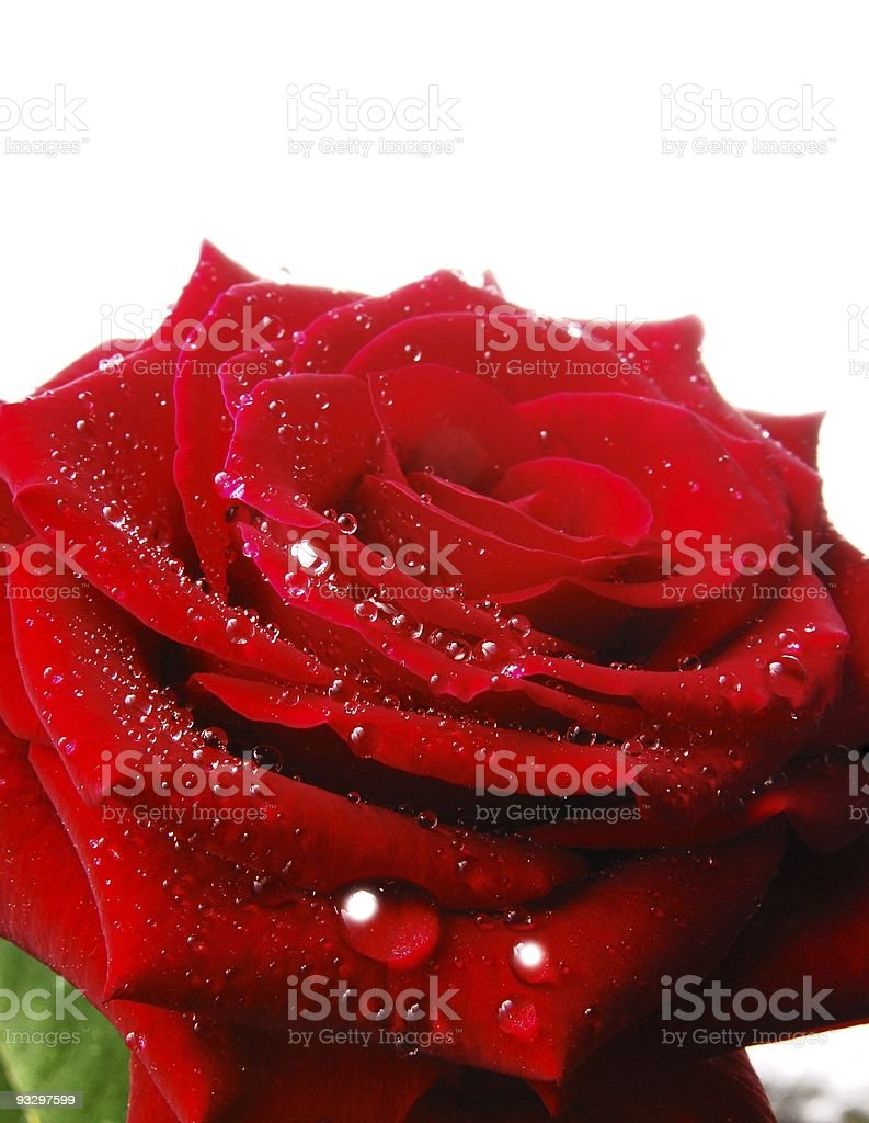 Rote Rose stock photo