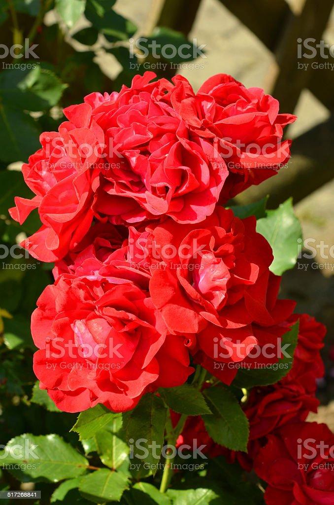 rote Rosen stock photo