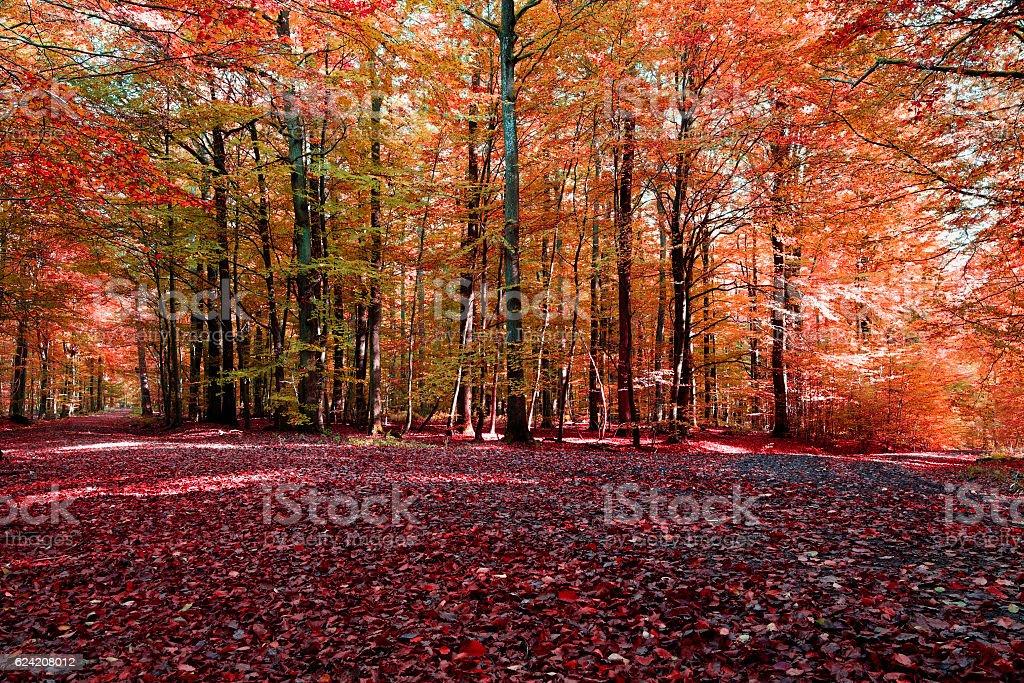 Roter  Buchenwald im Herbst stock photo