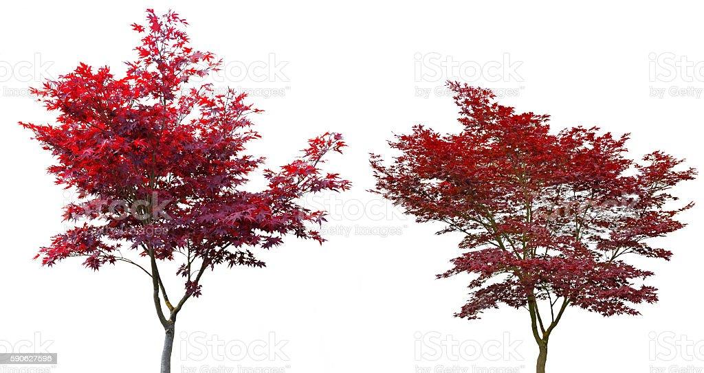 Roter Japanischer Ahorn jung und Alt. stock photo
