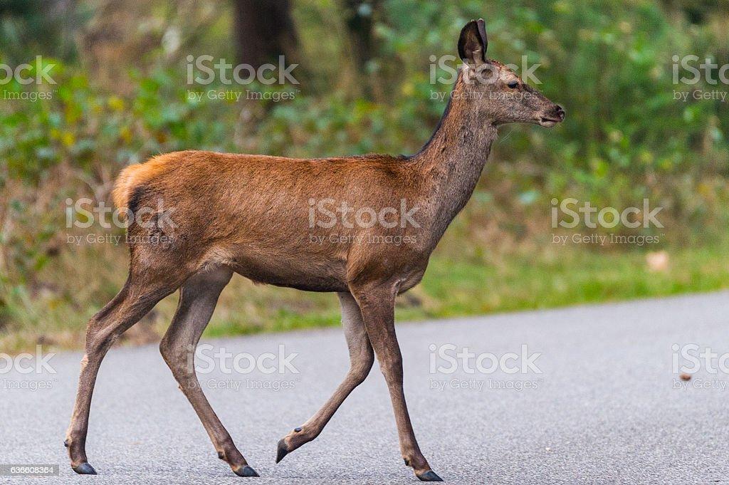 Rothirsch überquert die Straße stock photo