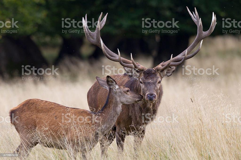 Rothirsch, Cervus elaphus, Red deer stock photo