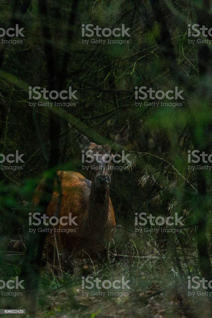 Rothirsch im Wald stock photo