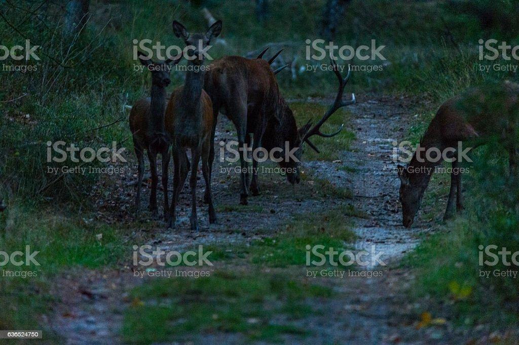 Rothirsche im dunklen Wald stock photo