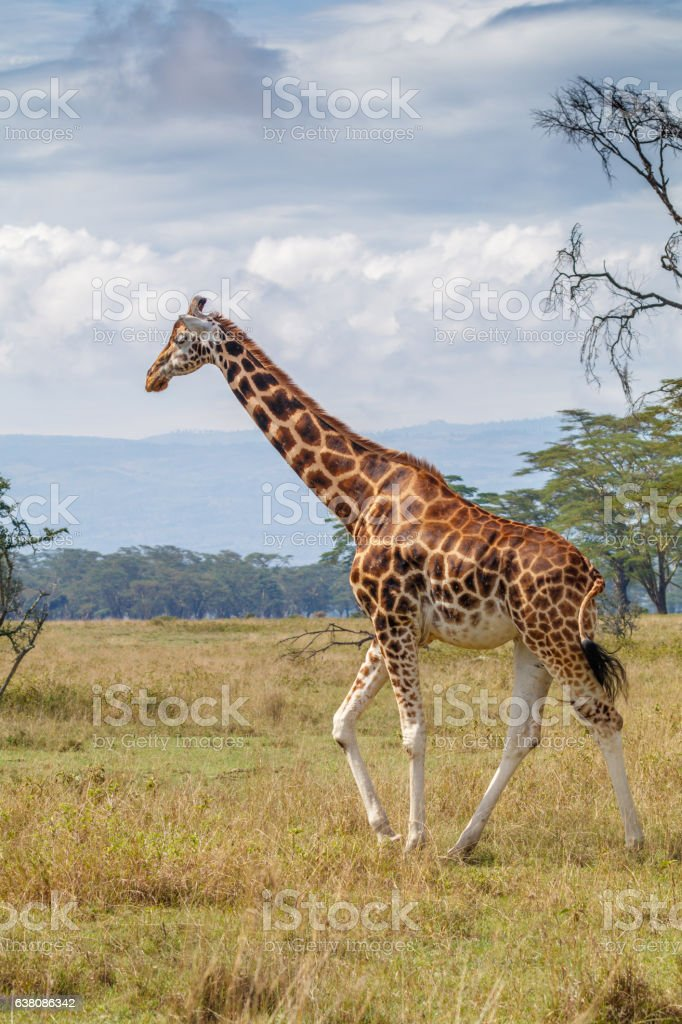 Rothschild Giraffe at Lake Nakuru National Park, Kenya stock photo
