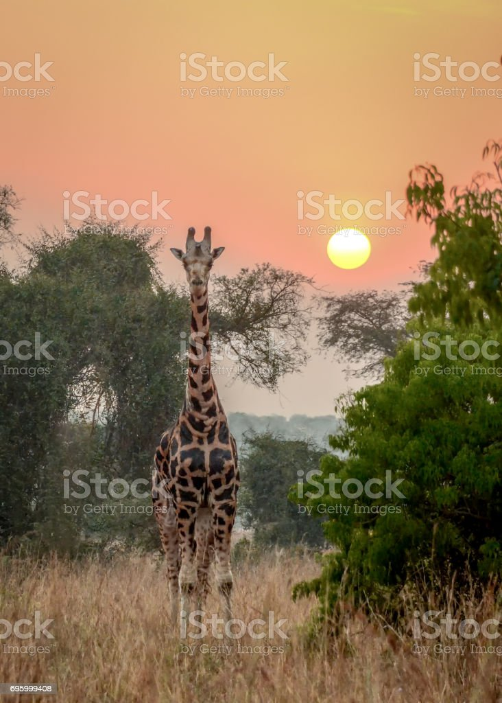 Rothschild giraffe at sunrise in the mist stock photo