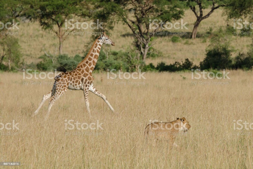 Rothschild Giraffe calf caught in the middle of a pack of lions, Murchison Falls National Park, Uganda stock photo