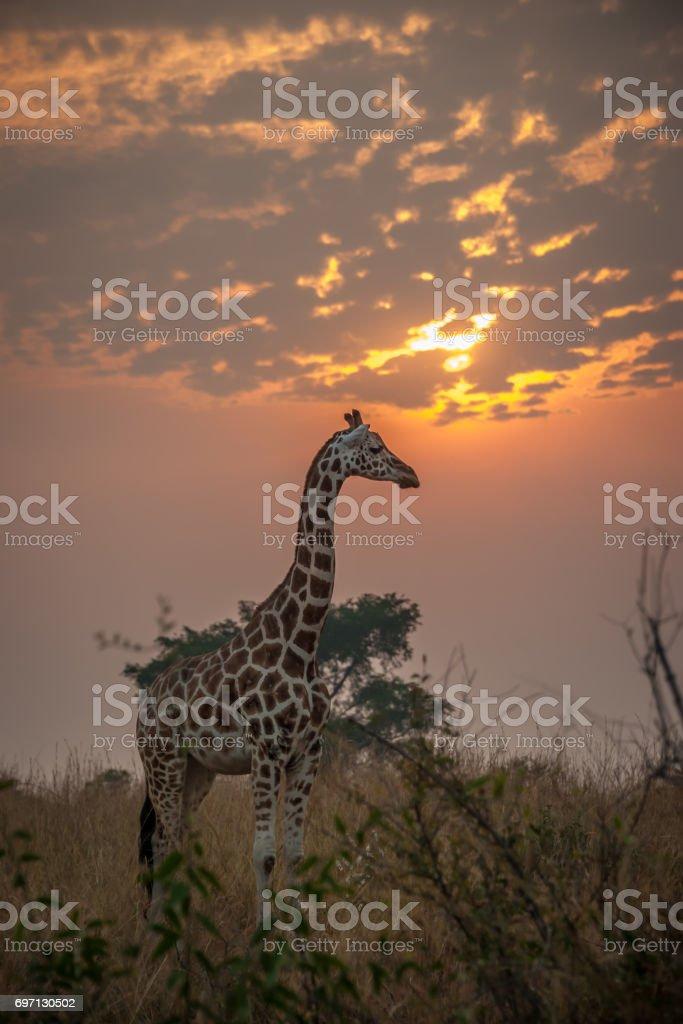 Rothschild Giraffe during sunrise, Murchison Falls National Park, Uganda stock photo
