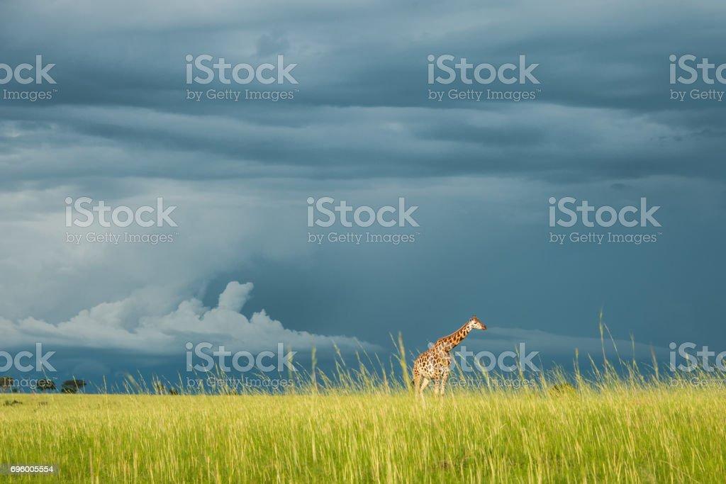 Rothschild Giraffe in a Storm stock photo