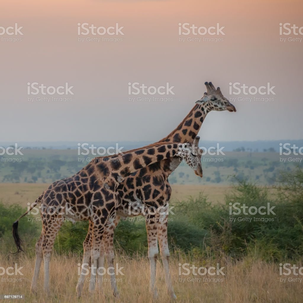 Rothschild Giraffes at sunrise stock photo