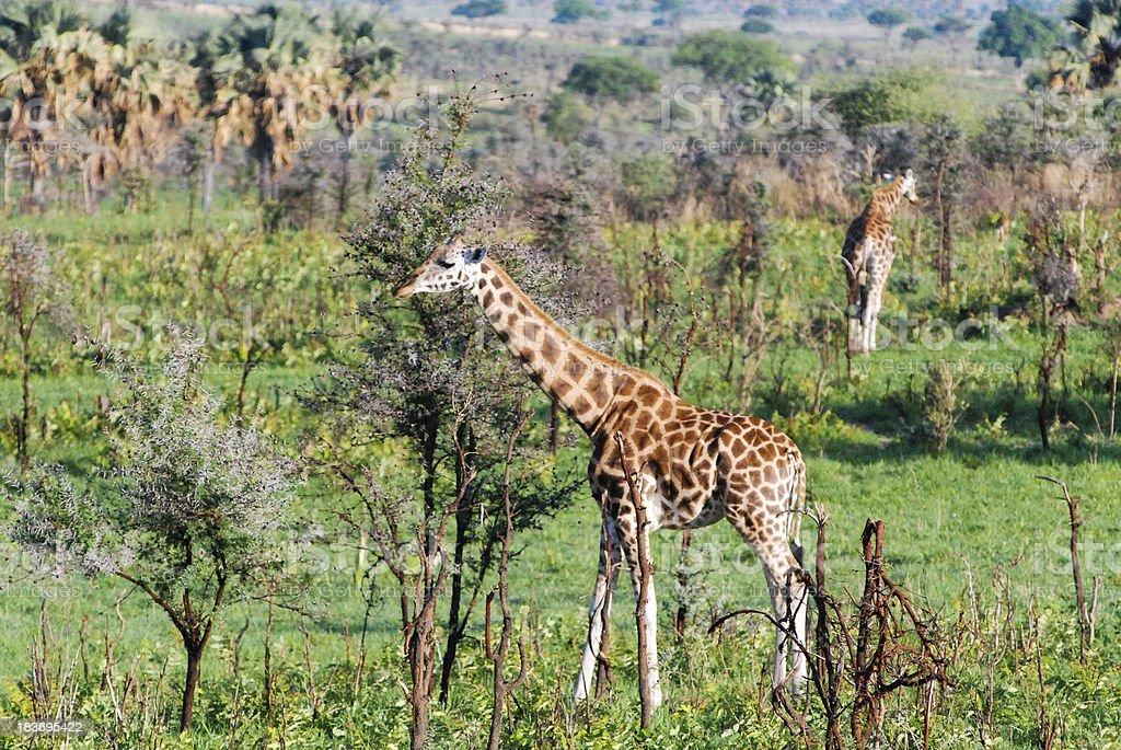 Rothschild giraffes Murchison Falls National Park Uganda royalty-free stock photo