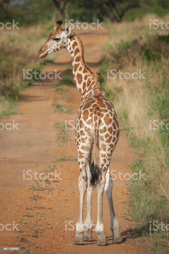 Rothschild newborn giraffe crossing the road, Murchison Falls National Park, Uganda stock photo