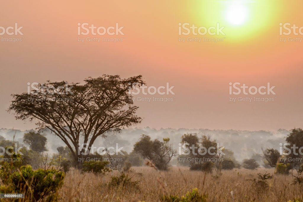 Rothschild under an acacia tree in the mist during sunrise stock photo