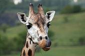 Rothschild's giraffe (Giraffa camelopardalis rothschildi).