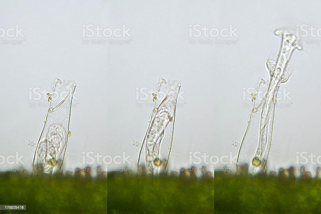 rotifer Flosculariidae family royalty-free stock photo