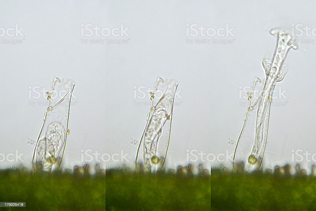 rotifer Flosculariidae family stock photo