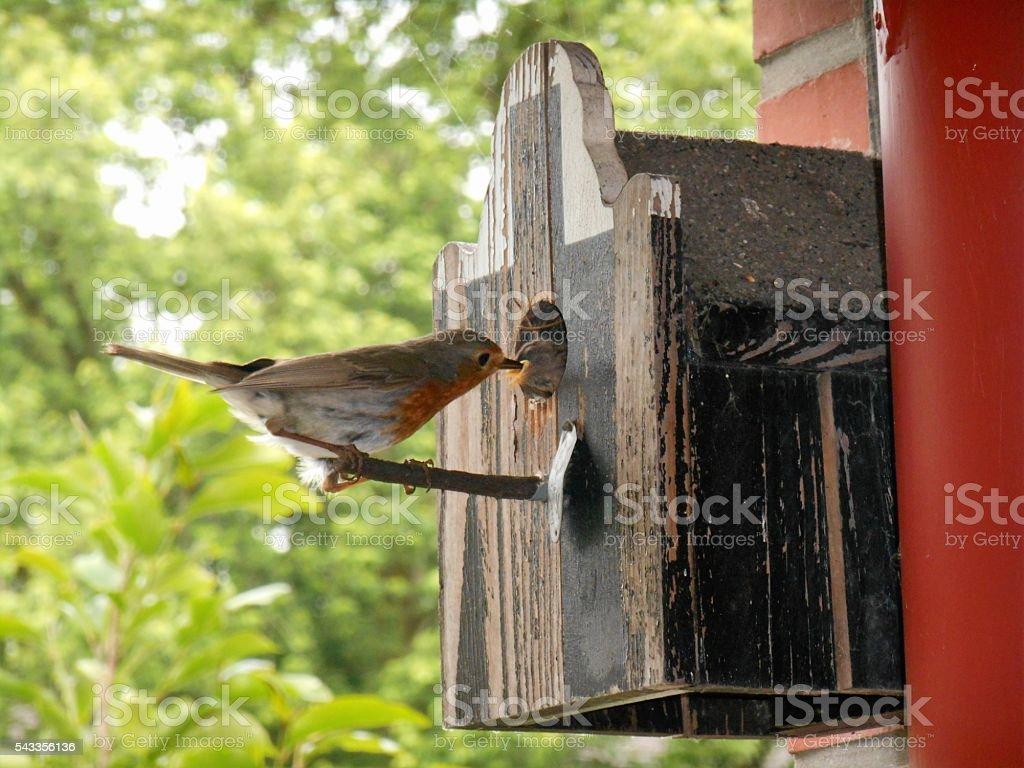 Rotkehlchen füttert Jungvögel im Nistkasten stock photo